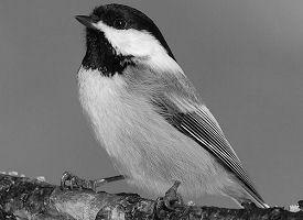 mass-bird